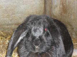 Foto 7 verkaufe meine Hasen wegen ausbildung Da ich keine zeit mer habe