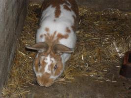 Foto 8 verkaufe meine Hasen wegen ausbildung Da ich keine zeit mer habe
