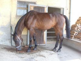 verkaufe bildhübsches Beistellpferd gegen Schutzgebühr