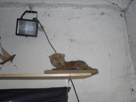Foto 2 verkaufe zwei ausgestopfte tiere ( Fuchs ) in wuppertal