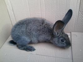verschiedene kaninchen rassen