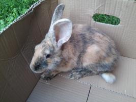 Foto 2 verschiedene kaninchen rassen