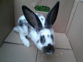 Foto 3 verschiedene kaninchen rassen