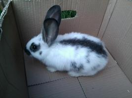 Foto 4 verschiedene kaninchen rassen