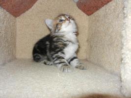 Foto 3 verschmuste sibirische Katzenkinder suchen ihr Kuschelzuhause