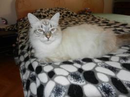 verschmuste sibirische Katzenkinder suchen ihr Kuschelzuhause