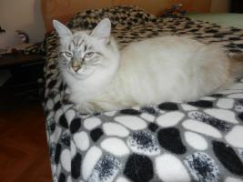 Foto 2 verschmuste sibirische Katzenkinder suchen ihr Kuschelzuhause