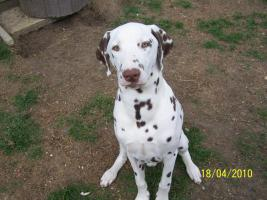 w/br Dalmatinerwelpe/Junghund, Rüde, sucht noch eine neue Familie