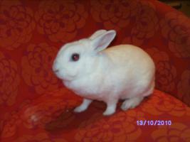 Foto 2 weibl. Kaninchen ca. 3 1/2 Jahre sucht neues zu Hause