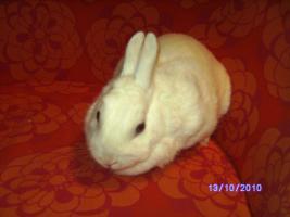 Foto 3 weibl. Kaninchen ca. 3 1/2 Jahre sucht neues zu Hause
