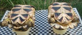Foto 2 weibliche Breitrandschildkröten NZ 2003 bis 2006