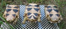 Foto 4 weibliche Breitrandschildkröten NZ 2003 bis 2006