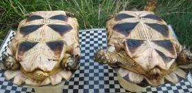 Foto 6 weibliche Breitrandschildkröten NZ 2003 bis 2006