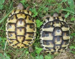 weibliche Griechische Landschildkröten