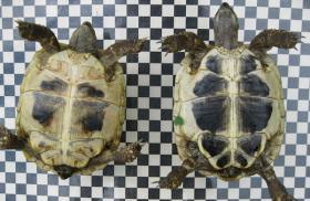 Foto 2 weibliche Griechische Landschildkröten