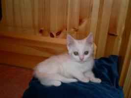 Foto 2 weiße BKH - Babys