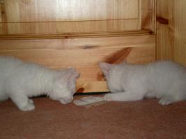 Foto 6 weiße BKH - Babys