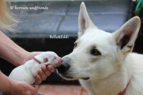 Foto 3 weisse Sch�ferhund Welpen