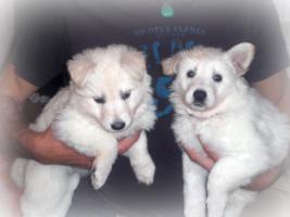 Foto 4 weisse Schäferhund Welpen mit Papieren