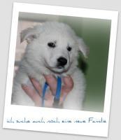 Foto 2 weisse Schäferhund Welpen mit Papieren