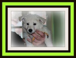 Foto 3 weisse Schäferhund Welpen mit Papieren