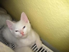 Foto 4 wei�e katzen 9 wochen alt