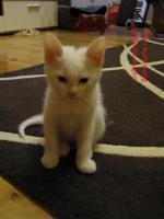 Foto 5 wei�e katzen 9 wochen alt