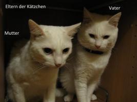 Foto 6 wei�e katzen 9 wochen alt