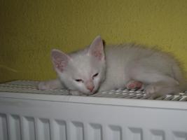 Foto 7 wei�e katzen 9 wochen alt