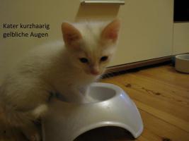 Foto 8 wei�e katzen 9 wochen alt