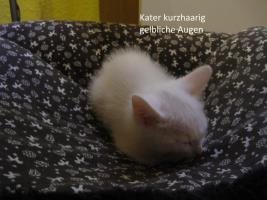 Foto 11 wei�e katzen 9 wochen alt