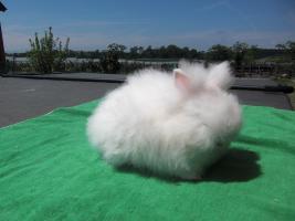 Foto 2 weißer Teddyzwerg, graue Augen