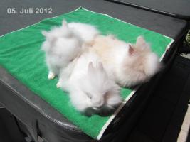 Foto 3 weißer Teddyzwerg, graue Augen