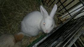 Foto 2 weisser albino  kaninchen junge