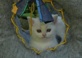 weißes BKH Kätzchen mit Papieren