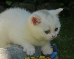 Foto 2 weißes BKH Kätzchen mit Papieren