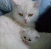 Foto 3 weißes BKH Kätzchen mit Papieren