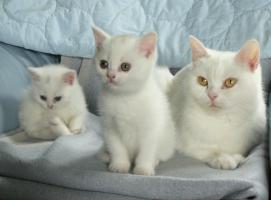 Foto 4 weißes BKH Kätzchen mit Papieren