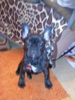 welpe Franz�siche bulldogge