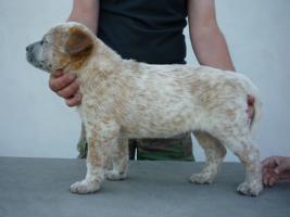 Foto 4 welpen – australian cattle dog