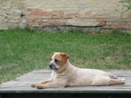 Foto 5 welpen – australian cattle dog