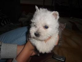 Foto 2 west highland white terrier