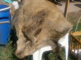 wildschwein zum hinlegen oder hin hängen