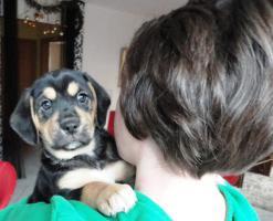 wunderschöne Beagle Mischlingwelpen, Mischlingswelpen, Welpe