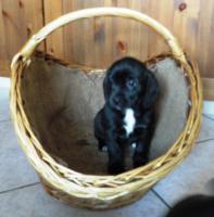 Foto 3 wunderschöne Beagle Mischlingwelpen, Mischlingswelpen, Welpe