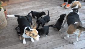 Foto 4 wunderschöne Beagle Mischlingwelpen, Mischlingswelpen, Welpe