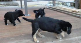 Foto 6 wunderschöne Beagle Mischlingwelpen, Mischlingswelpen, Welpe