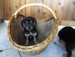 Foto 7 wunderschöne Beagle Mischlingwelpen, Mischlingswelpen, Welpe