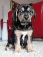 Foto 8 wunderschöne Beagle Mischlingwelpen, Mischlingswelpen, Welpe