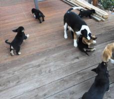 Foto 10 wunderschöne Beagle Mischlingwelpen, Mischlingswelpen, Welpe